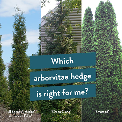 3 different arborvitae hedges side by side
